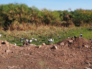 P1059529 - Heilige ibissen Victoria meer