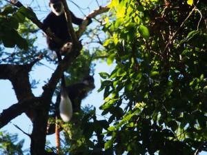 P1069553 - Colobus aap Kakamega Forest NR