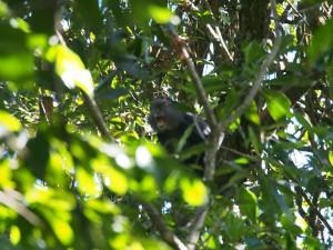 P1069569 - Primaat Kakamega Forest NR