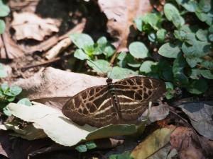 P1069593 - Vlinder Kakamega Forest NR