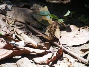 P1069612 - Vlinder Kakamega Forest NR