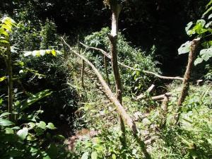 P1069622 - Bruggetje Kakamega Forest NR