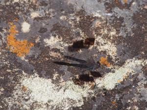 PB125608 - Libelle
