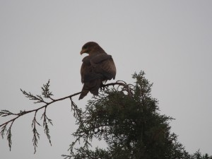PB246927 - Roofvogel