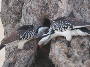 PB267227 - Hornbills in Abiata Shalla NP
