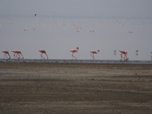 PB267241 - Flamingos Abiata meer in Abiata Shalla NP