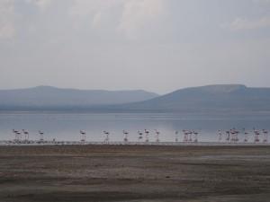 PB267250 - Flamingos Abiata meer in Abiata Shalla NP