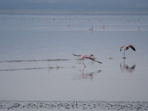 PB267256 - Flamingos Abiata meer in Abiata Shalla NP