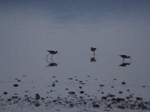 PB267261 - Steltlopers Abiata meer in Abiata Shalla NP