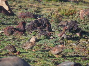 PB297411 - Vogels in Bale Mountains NP
