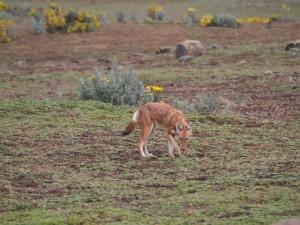 PB307592 - Ethiopische wolf Bale Mountains NP
