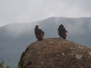 PB307627 - Vogels Bale Mountains NP
