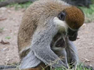PB307675 - Vervet apen Hawassa meer