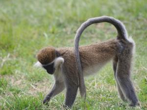 PB307684 - Vervet apen Hawassa meer