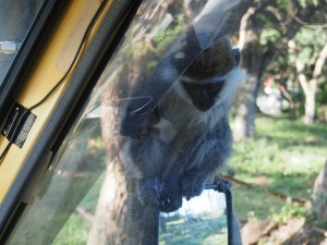 PC017724 - Vervet apen Hawassa meer