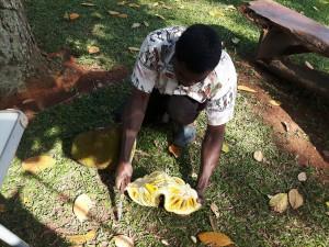 20170113 094110 - Charles oogst jackfruit