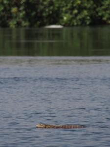 P1120085 - Grote hagedis in het water bij The Haven