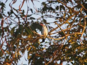 P1129997 - Senegal ijsvogel bij The Haven