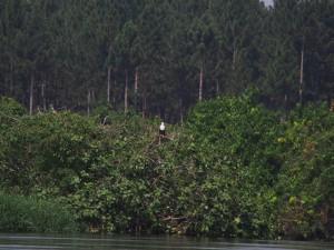 P1140221 - Afrikaanse visarend bij The Haven