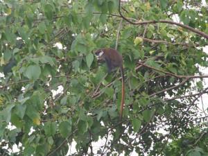 P1150292 - Roodstaartmeerkat bij The Haven