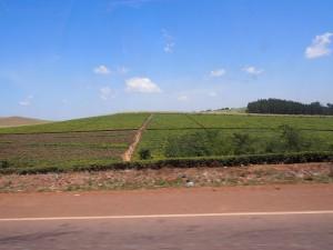 P1160362 - Theeplantages onderweg naar Kampala