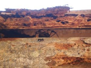 P1180441 - Dragon spider in botanische tuinen Entebbe