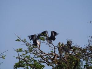 P1180488 - Maraboes in botanische tuinen Entebbe