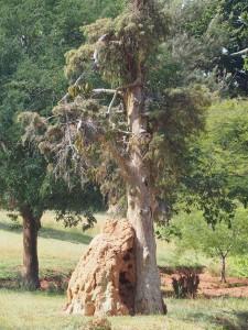 P1180493 - Termietenhoop in botanische tuinen Entebbe