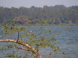 P1180542 - Bonte ijsvogel in botanische tuinen Entebbe