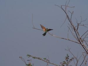 P1180562 - Bijeneter in botanische tuinen Entebbe