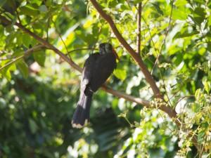 P1180586 - Roodsnaveltok in botanische tuinen Entebbe