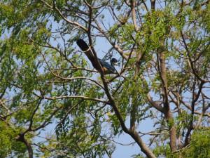 P1180611 - Reuzentoerako in botanische tuinen Entebbe
