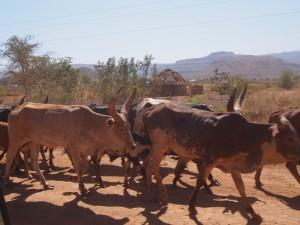 P1220795 - Ugandese longhorns
