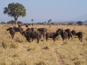 P1240895 - Buffels Kidepo NP