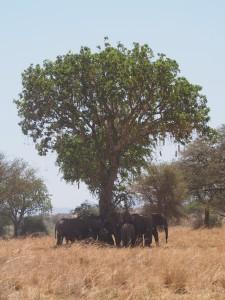 P1240986 - Olifanten Kidepo NP