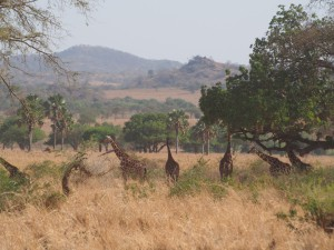 P1251242 - Rothshild giraffes Kidepo NP