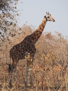 P1271385 - Giraffe Murchison Falls NP