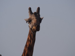 P1271387 - Giraffe Murchison Falls NP