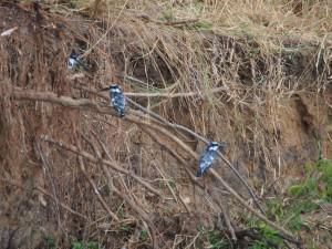 P1271438 - IJsvogels Murchison Falls NP