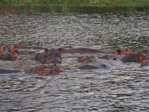 P1271448 - Nijlpaarden Murchison Falls NP