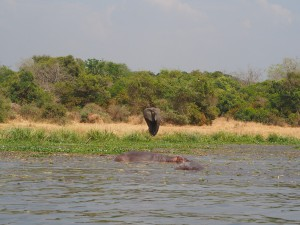 P1271467 - Olifant en nijlpaarden Murchison Falls NP
