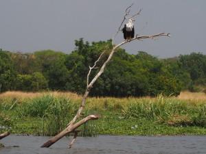 P1271475 - Afrikaanse visarend Murchison Falls NP