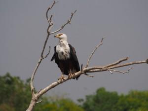 P1271477 - Afrikaanse visarend Murchison Falls NP