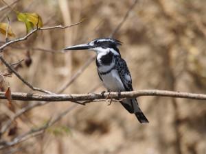 P1271505 - Ijsvogel Murchison Falls NP