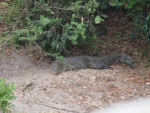 P1271506 - Krokodil Murchison Falls NP