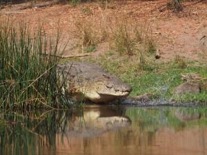 P1271534 - Krokodil Murchison Falls NP