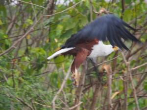 P1271555 - Afrikaanse visarend Murchison Falls NP