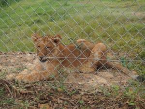 P1301670 - Leeuwtje Entebbe dierentuin