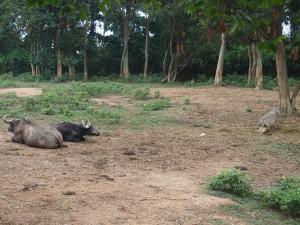 P1301671 - Buffels en wrattenzwijn Entebbe dierentuin