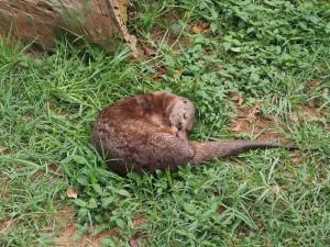 P1301682 - Otter Entebbe dierentuin